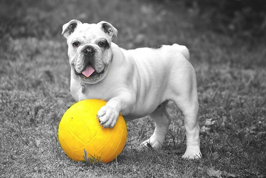white boxer dog with his paw on yellow ball