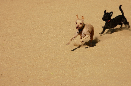 picture of little brown dog being chased by a little black dog